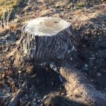 Unsightly Stump is a strong candidate for stump grinding.