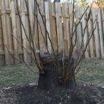 Stump that is Growing Back. Stump grinding prevents any chance of grow back